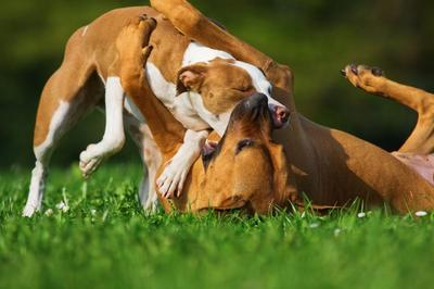 two dogs fighting on grass