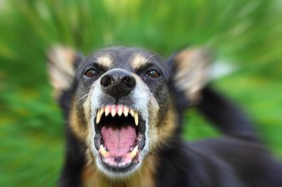 Angry dog growling - California vicious dog law can be found on Penal Code 399 PC