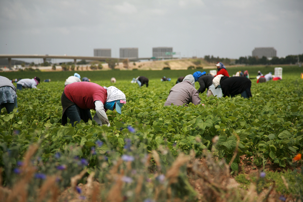 agricultural workers picking green beans in field