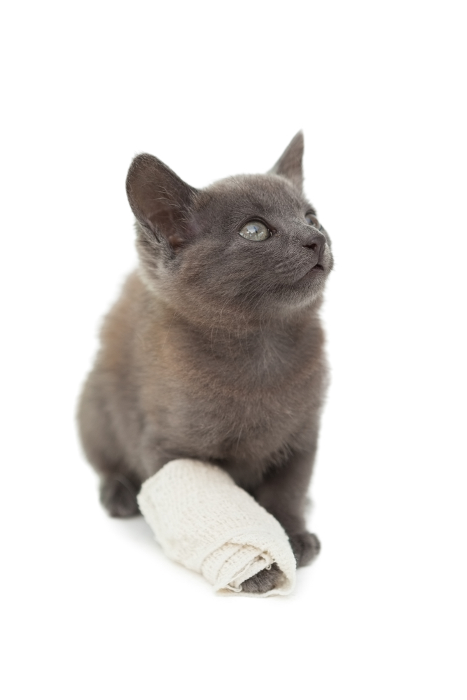 cat with thick bandage wrapped around its front right paw