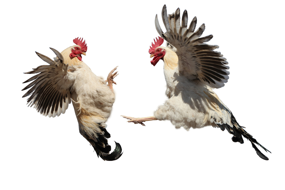 Two roosters fighting in midair