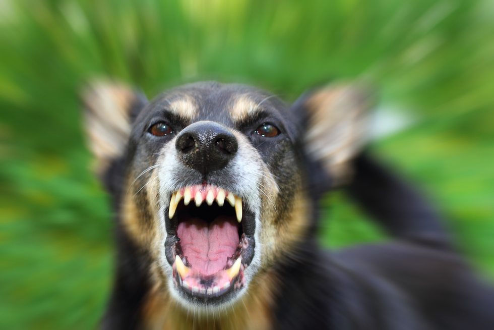German Shepard fiercely growling with teeth bared