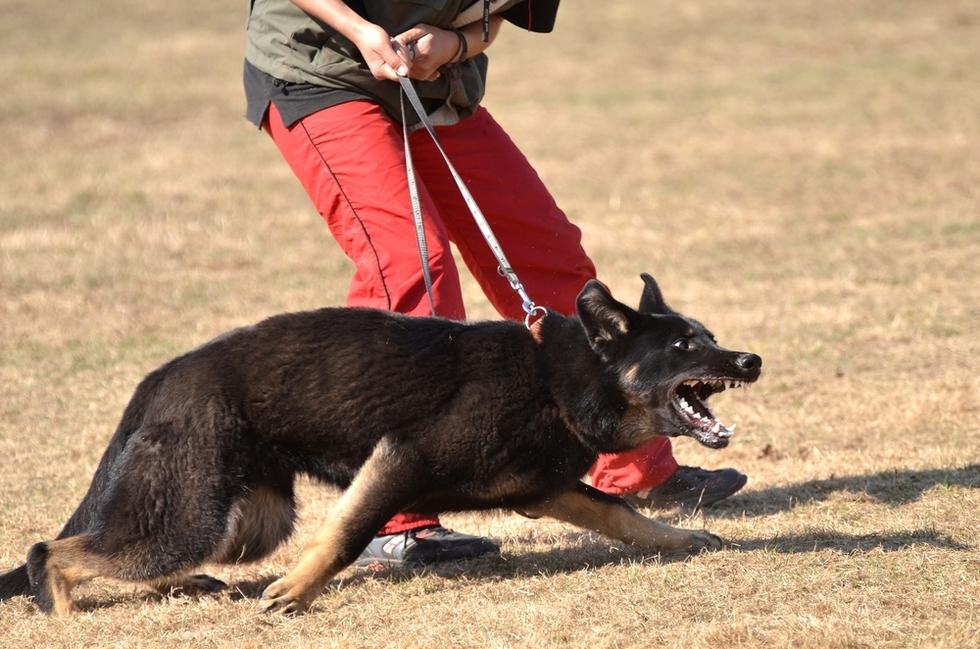 aggressive German Shepard on leash