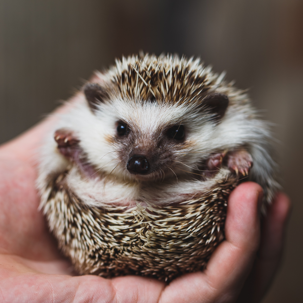 Cute pet hedgehog in someone's hand