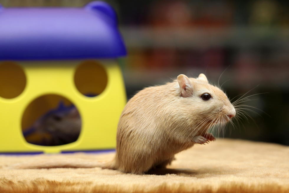 Cute gerbil in fun of toy cheese house