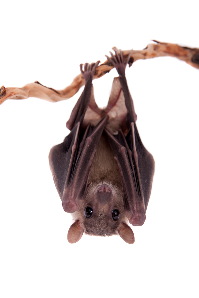bat hanging upside down from a slender branch
