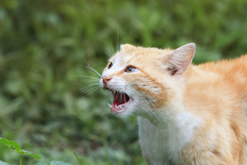 Cat with mouth open threateningly