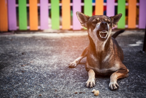 angry dog lying in front of fench with teeth bared