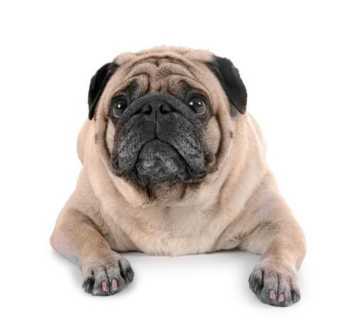 Cute overweight Pug dog