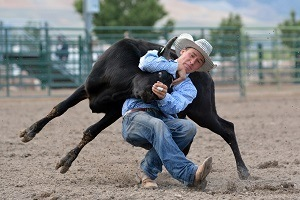 Cowboy with his arms wrapped around a young steer at a rodeo