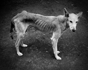 starving dog with ribs showing
