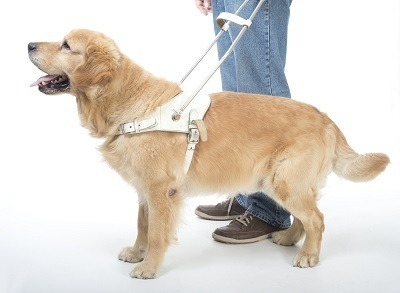service dog guiding blind man