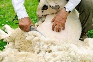hands of man shearing a sheep
