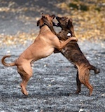 dog fighting in Nevada