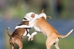 dog fighting in Nevada