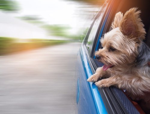 Happy dog enjoying the view outside of a moving car
