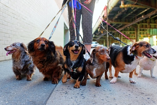 line of dogs (mostly Dachshunds) on leashes, held by dog walker