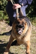 police dog baring teeth