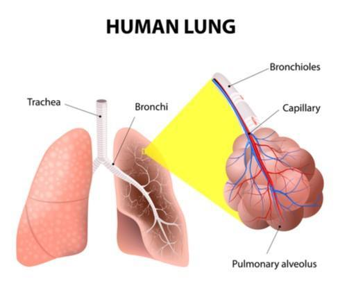 scientific diagram of human lung california legal defense attorneys dui