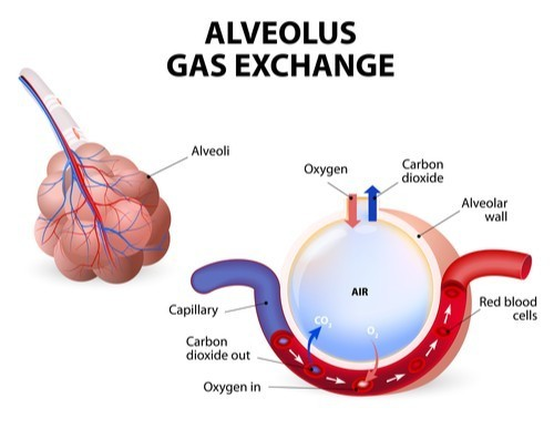 alveolus gas exchange diagram california dui expert legal defense attorneys