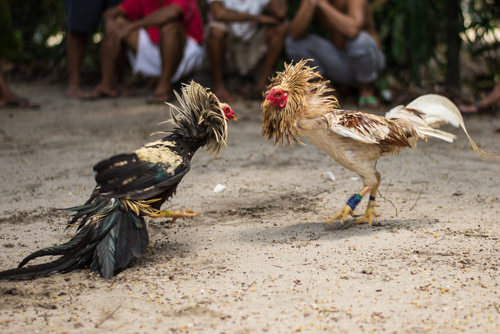 2 roosters fighting, an example of illegal cockfighting under Penal Code 597 b