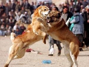 Img dogfighting