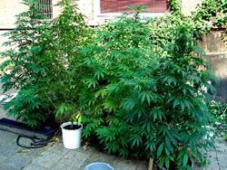 Marijuana1