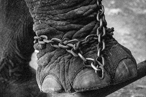 elephant locked up