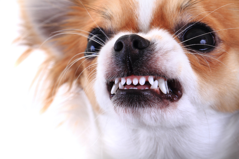 Dog Bearing Teeth Dog Bites Personal Injury