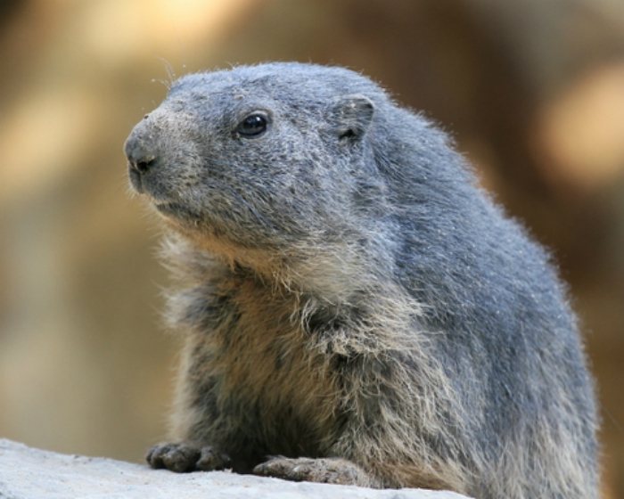 Groundhog big