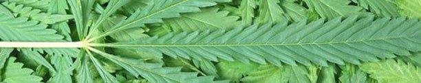 Vucsa marijuana