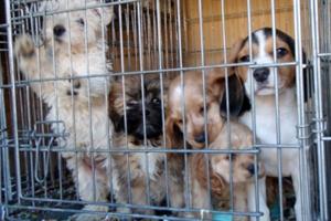 Cruelty to Animals – California Penal Code  597 PC