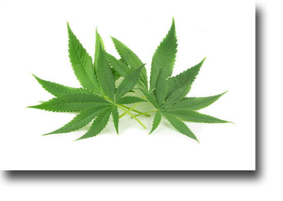 You need a Marijuana attorney in Colorado if facing charges related to marijuana.