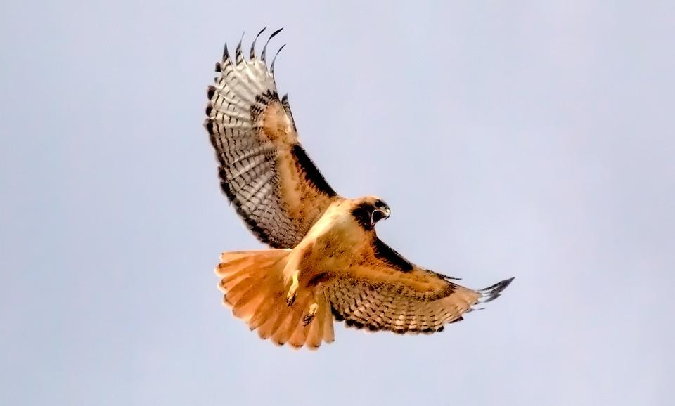 Hawk   ninja noise