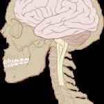 Brain 150x150