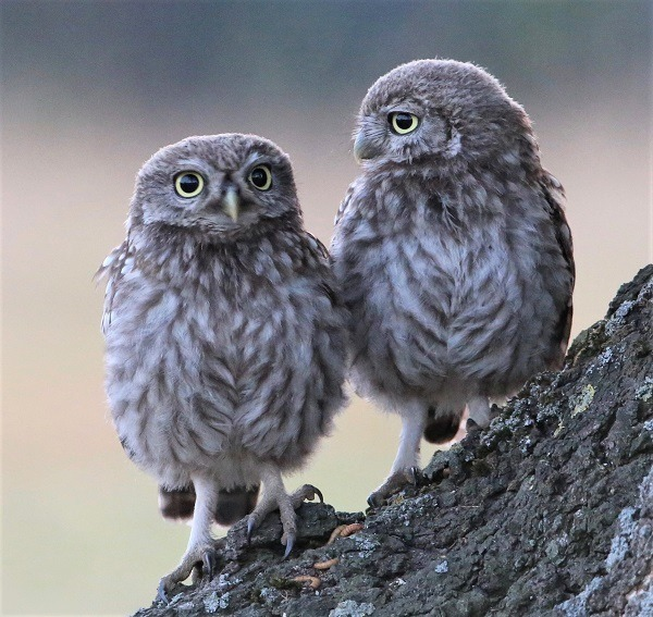 Two 20owls