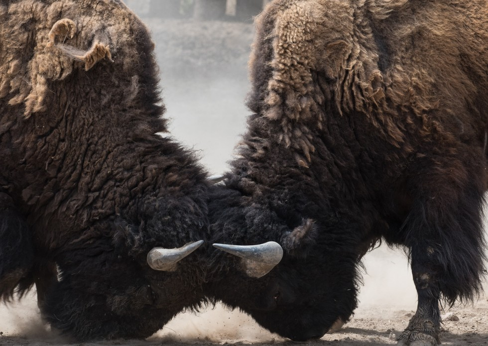 Bison 20locking 20heads