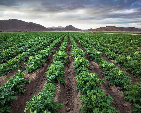 Image of Crops growing near Homeland, CA