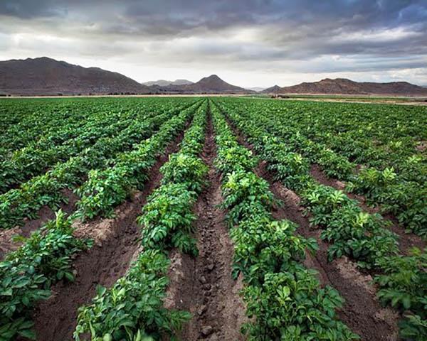 Image of Crops growing near Homeland, CA