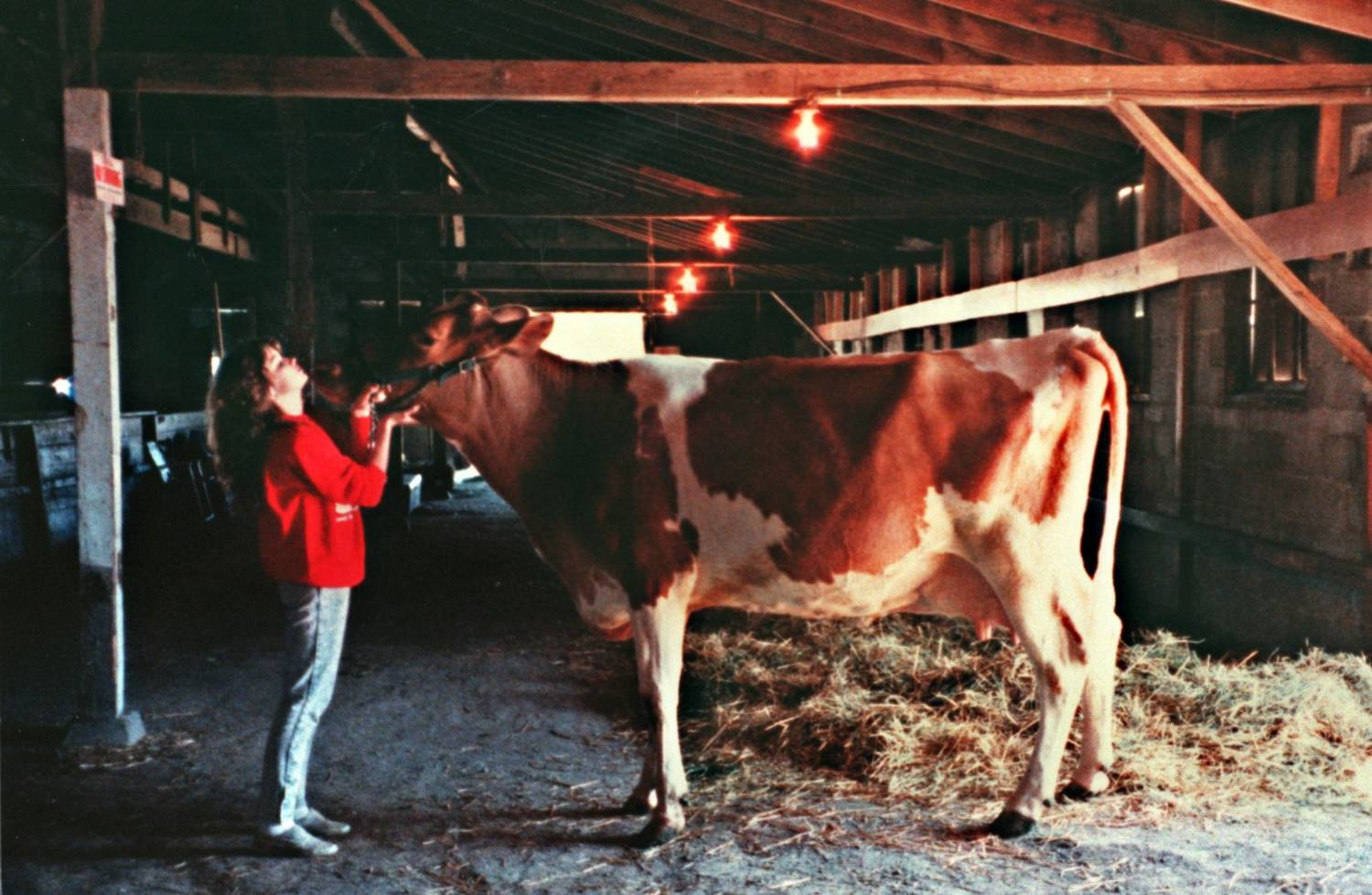 In a barn, a young woman playfully kisses a cow.