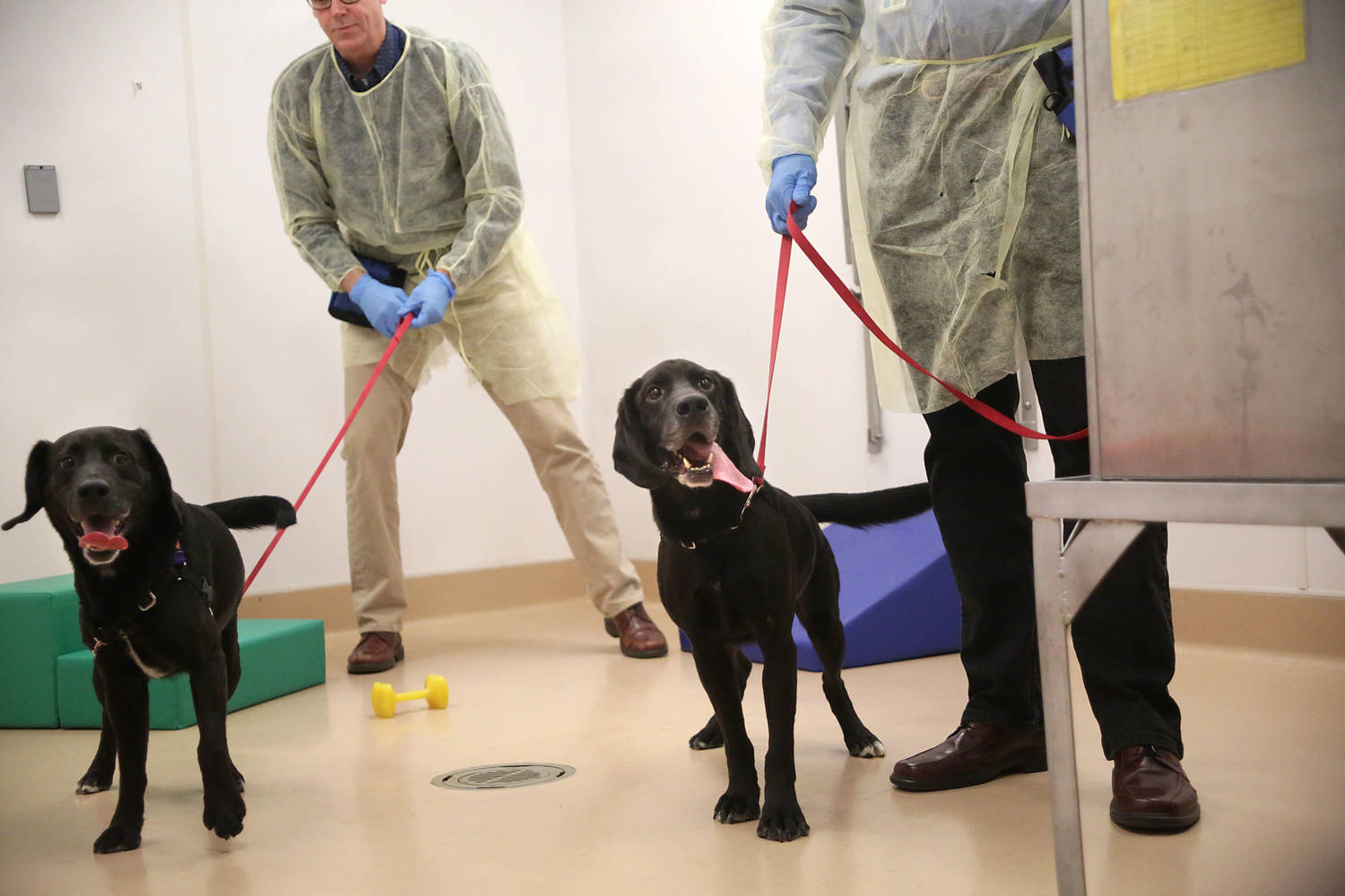 Two men wearing lab coats and blue rubber gloves each hold a black dog's leash.