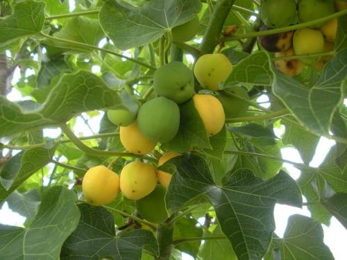 Jatropha_fruit.jpg