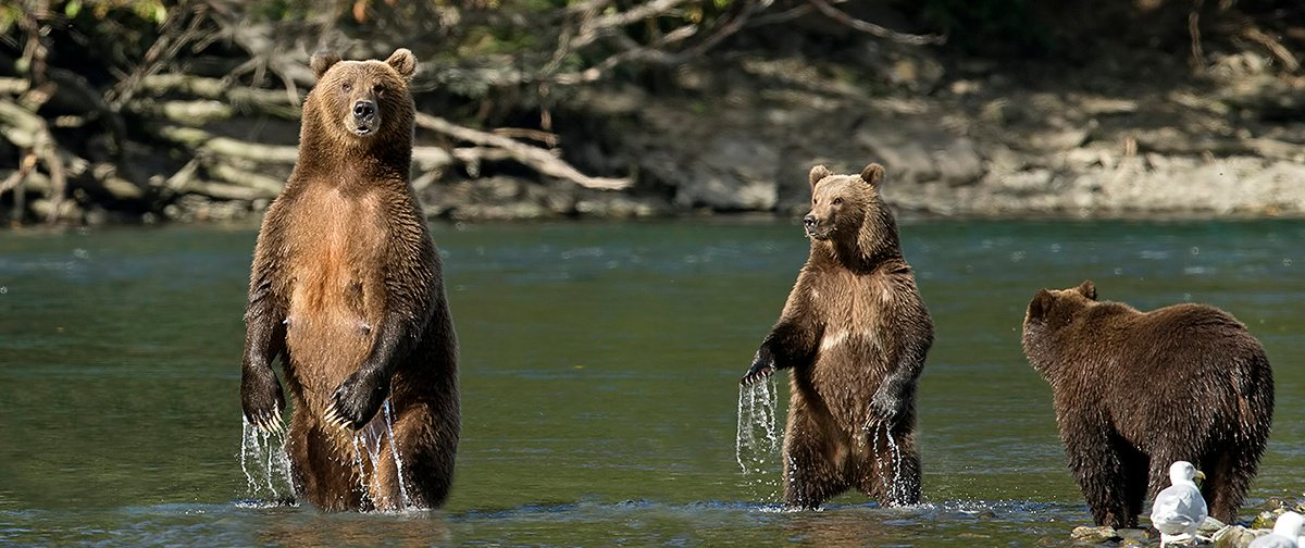 Wild Compass Tours Kodiak Bears