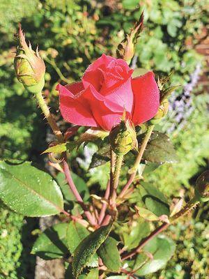 Blossom from Ralph Cummins rose garden.