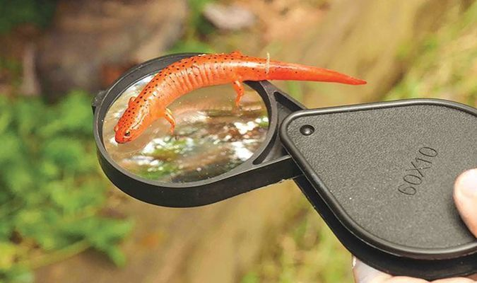 More than a dozen programs to be offered at the naturalist rally will feature topics including colorful salamanders such as this one.  PROVIDED BY CLINCH COALITION
