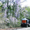 Photo: Becky Whisenant A Texas State Railroad locomotive passes blooming wisteria. On March 15, the TSR Authority approved a request for proposal to negotiate with potential future operators.