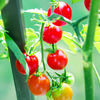 With the vast number of tomato varieties, selecting the right tomato for your growing conditions and intended use is important.