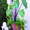 Elephant ears, like this Black Stem variety, can be grown in the garden or in containers.