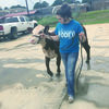 Courtesy Photo Brianna Sanchez of Rusk FFA walks her show heifer prior to a previous show. Sanchez, will be among several local FFA and 4-H students participating in the livestock shows at the East Texas State Fair in Tyler.
