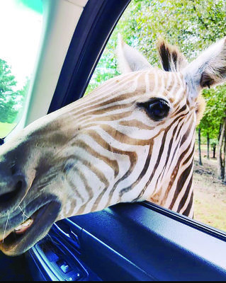 Photo by Josie Fox County Line's Best Attraction (Under 50k) went to Cherokee Trace Drive-Thru Safari in Jacksonville. The drive through safari allows guests to get up and personal with exotic wildlife from the safety of their vehicle.